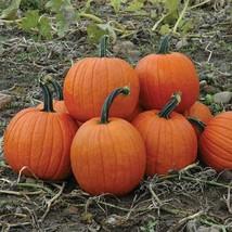 100 Seeds Pumpkin Seeds Howden Pumpkin - Garden & Outdoor Living - $35.99