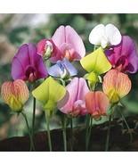 50 Sweetie Sweet Pea Flower Seed Mix 5 Species of Wildflower Seeds TkSma... - $26.73