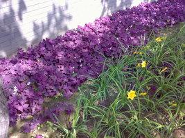 100 Pcs Purple Clover Purple Butterfly Clover Purple Leaf Shamrock Seeds... - $4.92