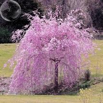 20 Seed Heirloom Pink Beautiful Oriental Cherry Sakura, DIY Beautiful Tr... - $9.99