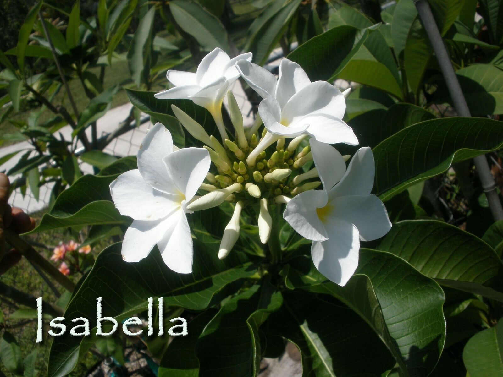 "Primary image for SALE for 2 Unique! Plumeria Obtusa *Isabella* 10""-12"" cuttings"