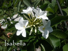 "SALE for 2 Unique! Plumeria Obtusa *Isabella* 10""-12"" cuttings - $19.95"