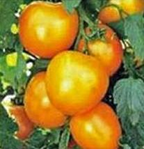 Tomato, Jubilee, Heirloom, 50 Seeds, Deliciously Sweet Yellow Fruit - $4.49