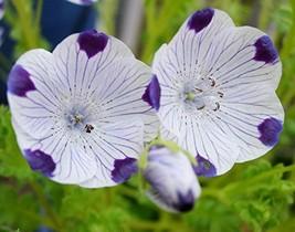 Non GMO Five-Spot (Nemophila maculata) Flower Seeds (5 Lbs) - $212.85