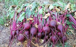 "Beets, HEIRLOOM ""Ruby Queen"" BEET SEEDS, All American Winner.Organic unt... - $1.58+"