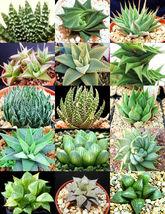 HAWORTHIA MIX rare living sotnes plant exotic cactus flower succulents 10 seeds - $18.00