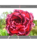 Rosy Adenium Obesum 7th Heaven Desert Rose Flowers Seeds, 2 seeds / pack - $4.28