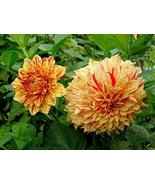 2 Dahlia Painted Madam Yellow Red Color Flower Bulb Perennial Summer Blo... - $43.56