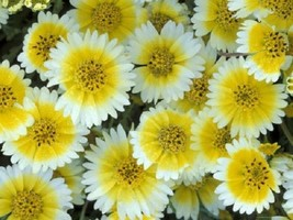 50+ TIDY TIPS  FLOWER SEEDS RESEEDING ANNUAL - £4.03 GBP