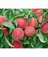 Red Haven Peach Tree - Hardy - Healthy - Established - 1 Bareroot Plant - $54.99