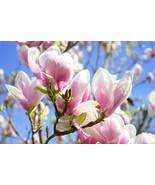 5 seeds - Lily Magnolia Pink & Purple Fragrant Tulip Magnol Liliiflora #... - $17.99