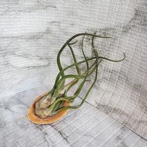 Air Plant, Tillandsia Caput-Medusa, medium size airplant, 4-5 inches image 5