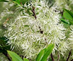 3 Variety Seeds - White Fringe Chionanthus Virginicus Tree Seeds #TSP - $16.99+