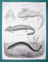 REPTILES Siredon Salamader Greater Siren - 1840 Fine Quality Antique Print - $16.20