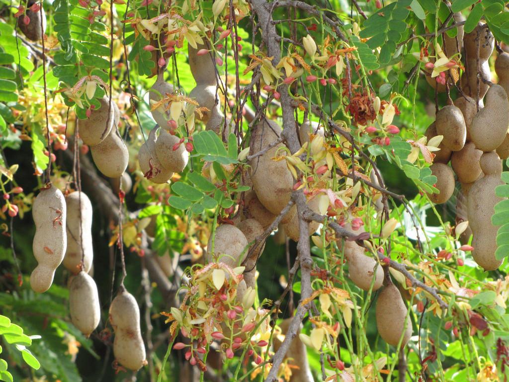 Bonsai Tamarindus Indica Tamarind Tree And 41 Similar Items