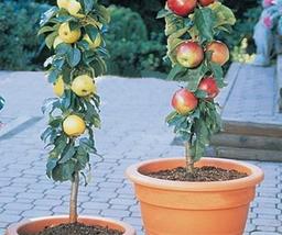 10 pcs Apple Bonsai Yellow Red Mixed Tree Seeds Very Sweet Tasty - $14.94