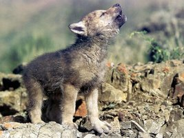 574100  baby wolf howling p thumb200