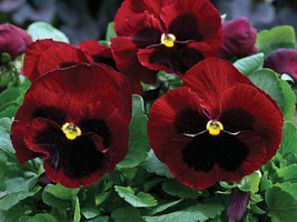Pansy Seeds, Claret, Swiss Giant Pansies Viola Seeds Heirloom Flower See... - $9.99
