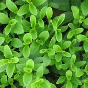 200PC Stevia Rebaudiana Seeds Natural Sweetener Garden Plant Seeds High Quality