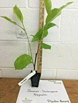 "Saucer Magnolia 2 1/2"" pot Soulangeana  image 3"