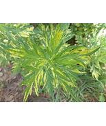2 Live Mugwort Plants (Artemisia vulgaris) Live Plant - $31.68