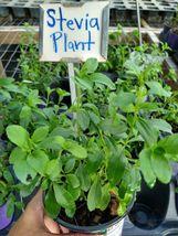 Sweetleaf~ Stevia Live Plant~Stevia Sugar Plant~Culinary Herb~5 inches tall - $35.00