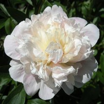 1 Root 3-5 of Eye Madam Calot Peony Fragrant Pink Spring Perennial Flowers - $47.52