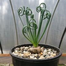 Albuca spiralis Cactus Cacti Succulent Real Live Plant - $64.99