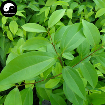 Buy Cinnamomum Pedunculatum Seeds 50pcs Plant Cinnamomum Tree For Tian Z... - $5.99