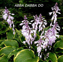 S//H MANY HOSTA SEEDS IN OUR STORE! COMB Wheaton Blue Hosta Seeds