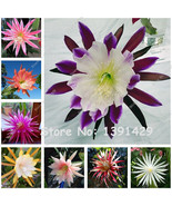200 Pcs Mexican Hybrid Epiphyllum Flower Seeds Rare Orchid Cactus Plant ... - ₹283.04 INR