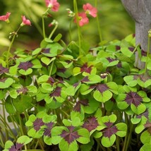 10 Bulbs Oxalis Iron Cross Good Luck Plant Green Shamrock Four Leaf Luck... - $8.49