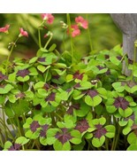 10 Bulbs Oxalis Iron Cross Good Luck Plant Green Shamrock Four Leaf Luck... - $9.49