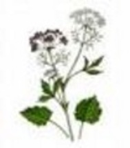 Herb - Anise - Non-Hybrid - Non-Gmo - St. Clare Heirloom Seeds - $1.49