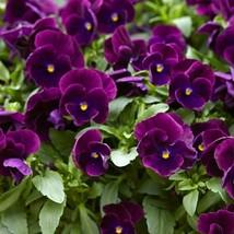 Pansy Bergwacht 50 Flower Seeds - $12.98