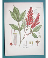 BITTER WOOD Medicinal Plant Quassia Amara - Beautiful COLOR Botanical Print - $28.69