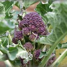 1500 Seeds - Early Purple Sprouting/Brassica oleracea italica - $57.42