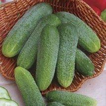 25 Seeds of Cucumber Ginga F1 - $20.33