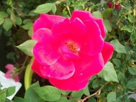 Red Knock Out® Rose Bush EarthKind Large 3 Gal. Shrub Plants Plant Roses Gardens - $53.30