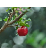 SHIP FROM US Acerola ( Barbados cherry) live fruit tree 2'-3' tall TPE3 - $178.48