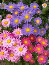 Chinese Aster Seeds, Farm Mix, Heirloom Flower Seed, Mixed Asters, Annual 50ct - $14.39