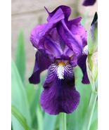1 rhizome - Iris Eleanor Roosevelt Bearded Historical Traditional - fres... - $11.99