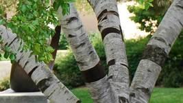 River Birch multi-stem clump tree (betulanigra) in quart pot image 3