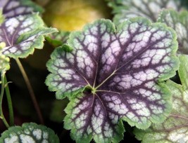 10 Fancy-leaf Coral Bells,Heuchera americana Marvelous Marble,Perennial,... - $7.88