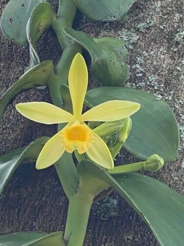 Primary image for Vanilla planifolia Well Rooted Species Orchid Plant Vanda Blooming Size 0107a