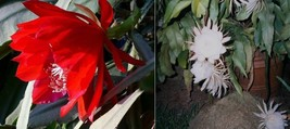"TWO 8"" Cuttings EPIPHYLLUM Orchid Cactus: 1 Big Red, 1 White Queen of th... - $8.59"