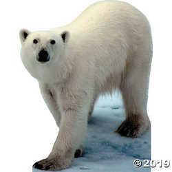 Polar Bear Stand-Up