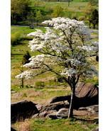 Dogwood Tree, Gettysburg, Va.  8x12 Photograph - $99.00