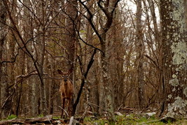 Deer In The Woods at Shenandoah National Park, ... - $99.00