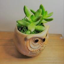 """Golden Sedum Succulent in Ceramic Owl Planter, Live Plant, 2.5"""" Animal Pot image 5"""